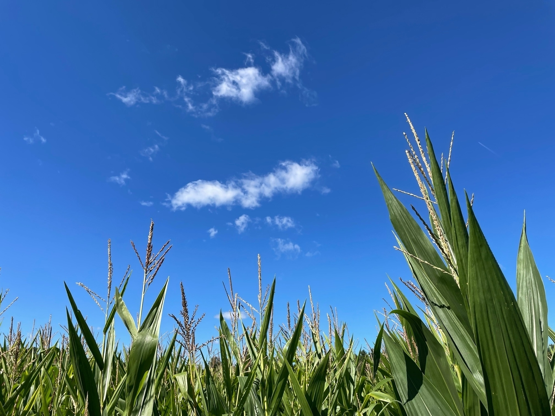 tall corn under a blue sky with wispy clouds